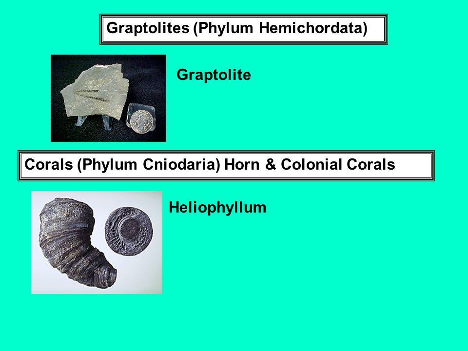 Graptolites (Phylum Hemichordata)