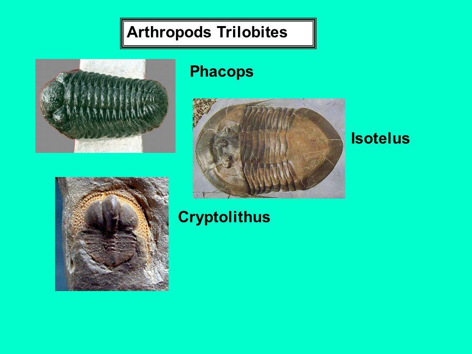 Arthropods Trilobites