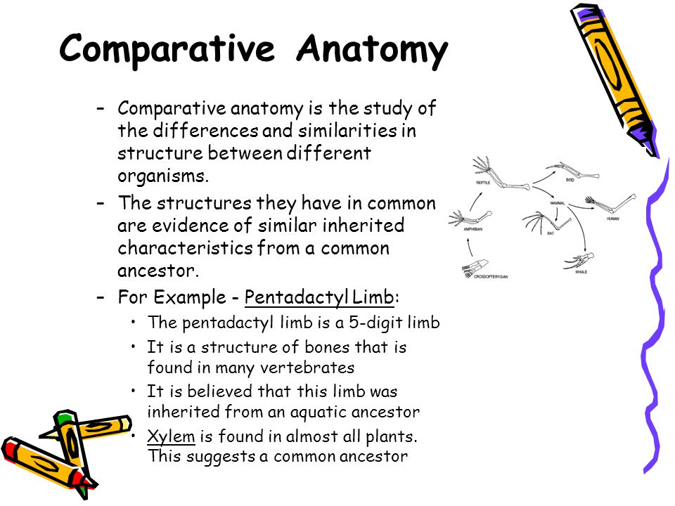 Comparative Anatomy Comparative anatomy is the study of the differences and similarities in structure between different organisms.