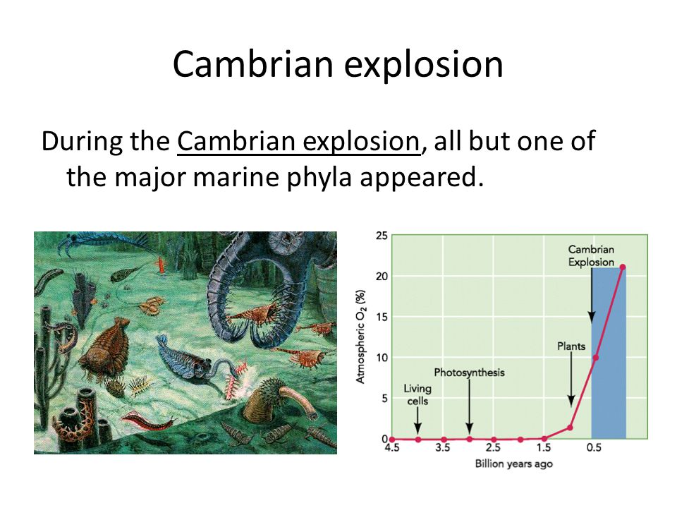 Cambrian explosion During the Cambrian explosion, all but one of the major marine phyla appeared.