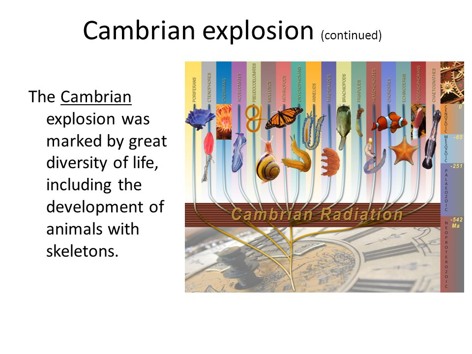 Cambrian explosion (continued)