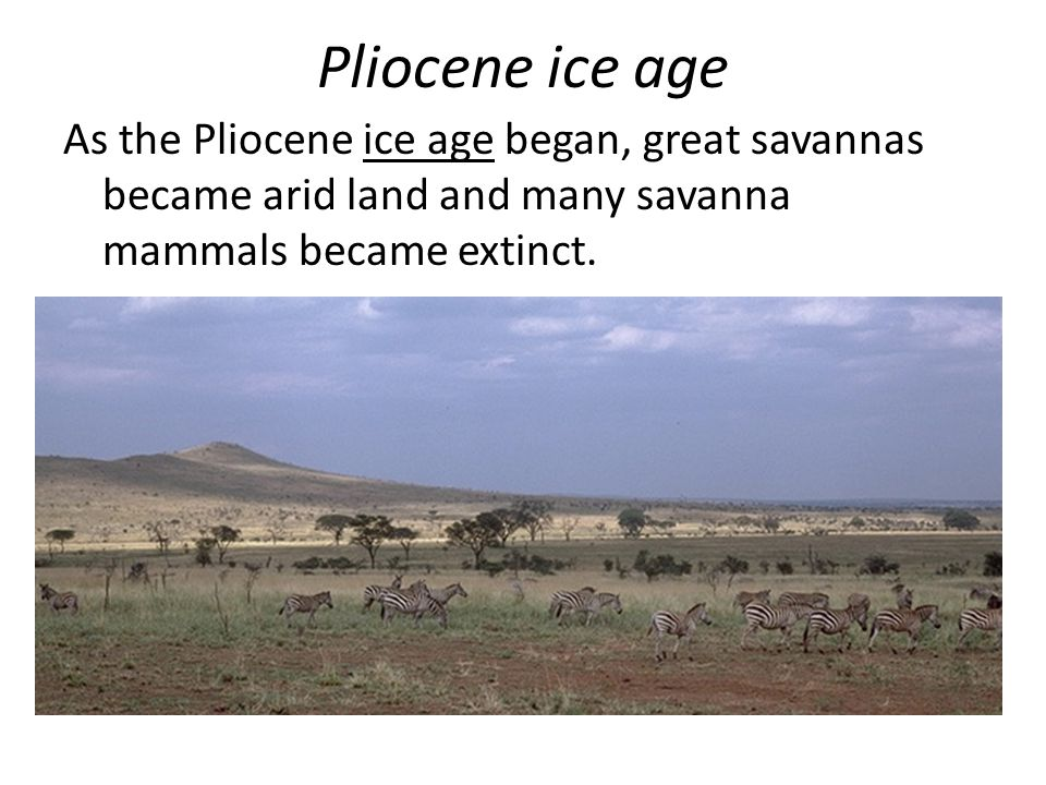 Pliocene ice age As the Pliocene ice age began, great savannas became arid land and many savanna mammals became extinct.