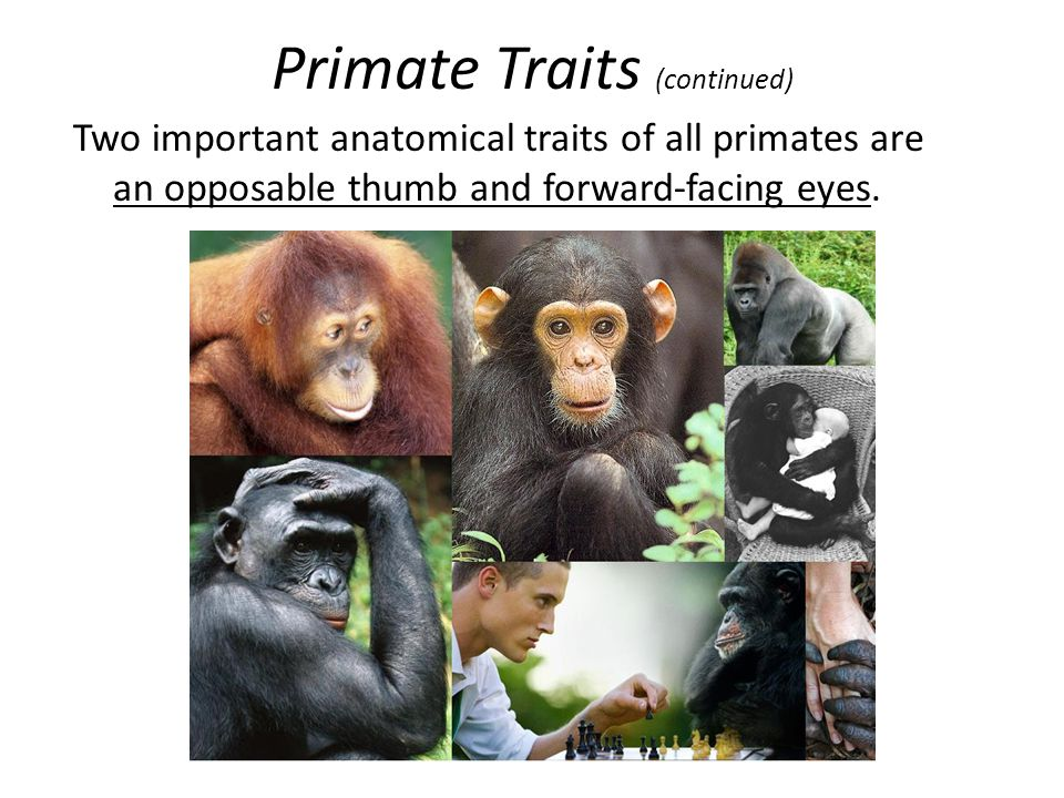 Primate Traits (continued)