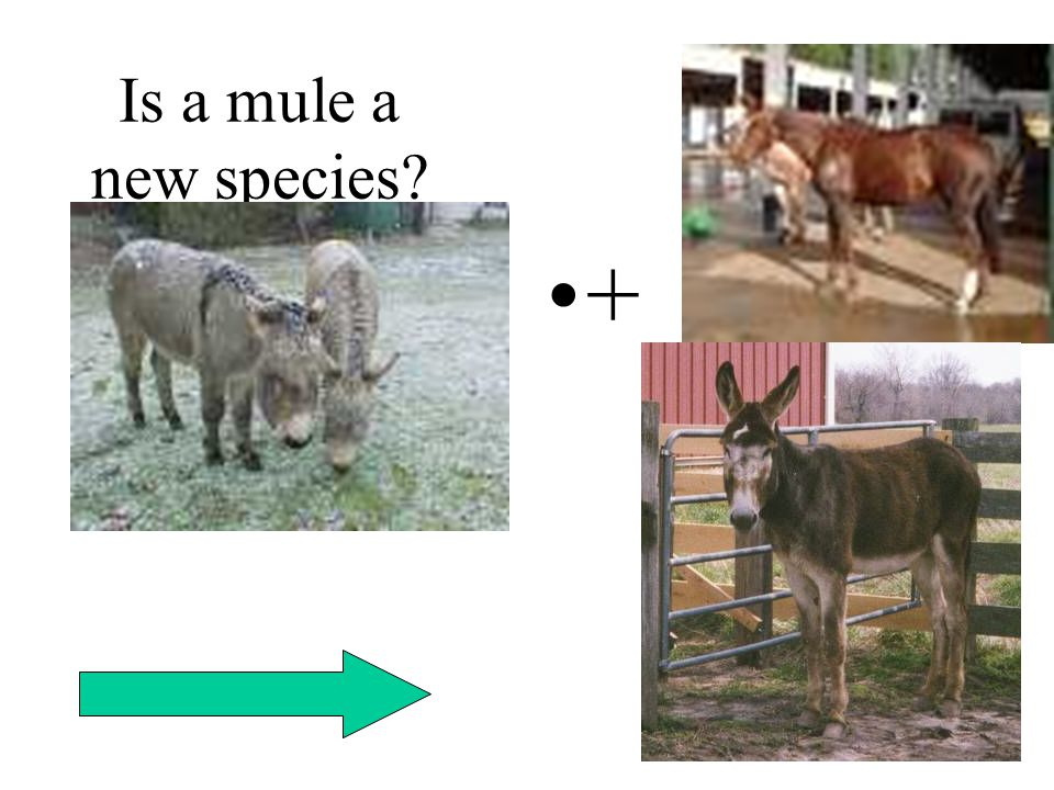 Is a mule a new species +