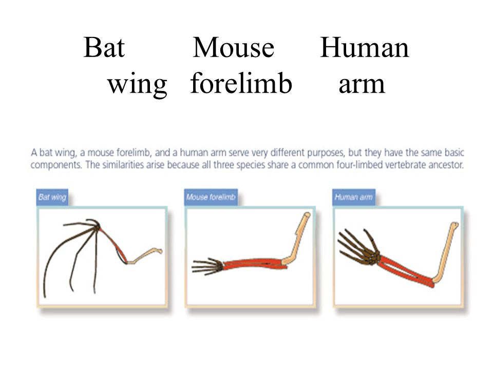 Bat Mouse Human wing forelimb arm