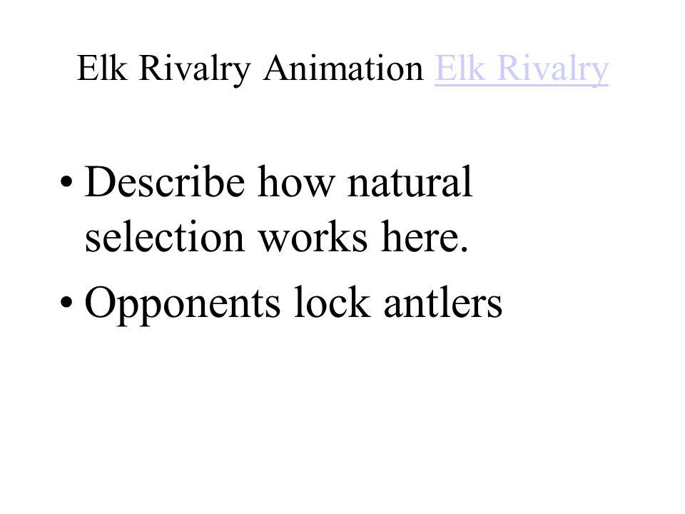 Elk Rivalry Animation Elk Rivalry
