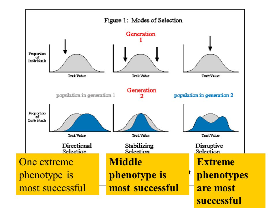 One extreme phenotype is most successful