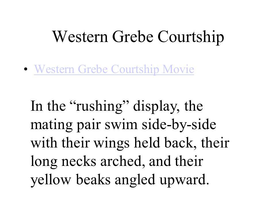 Western Grebe Courtship