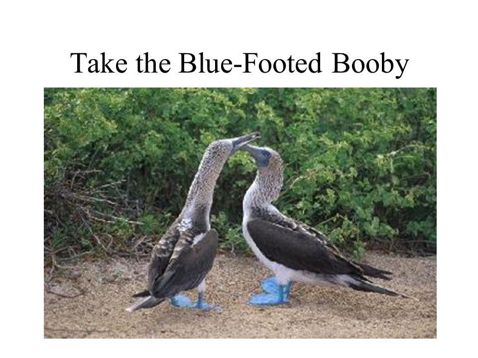 Take the Blue-Footed Booby