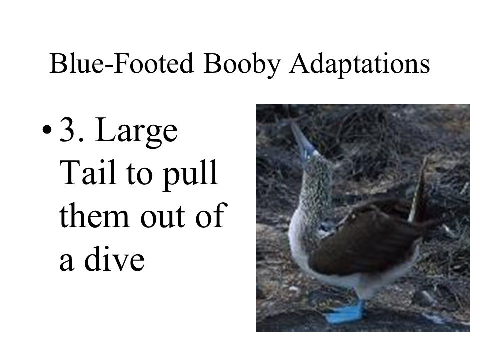 Blue-Footed Booby Adaptations