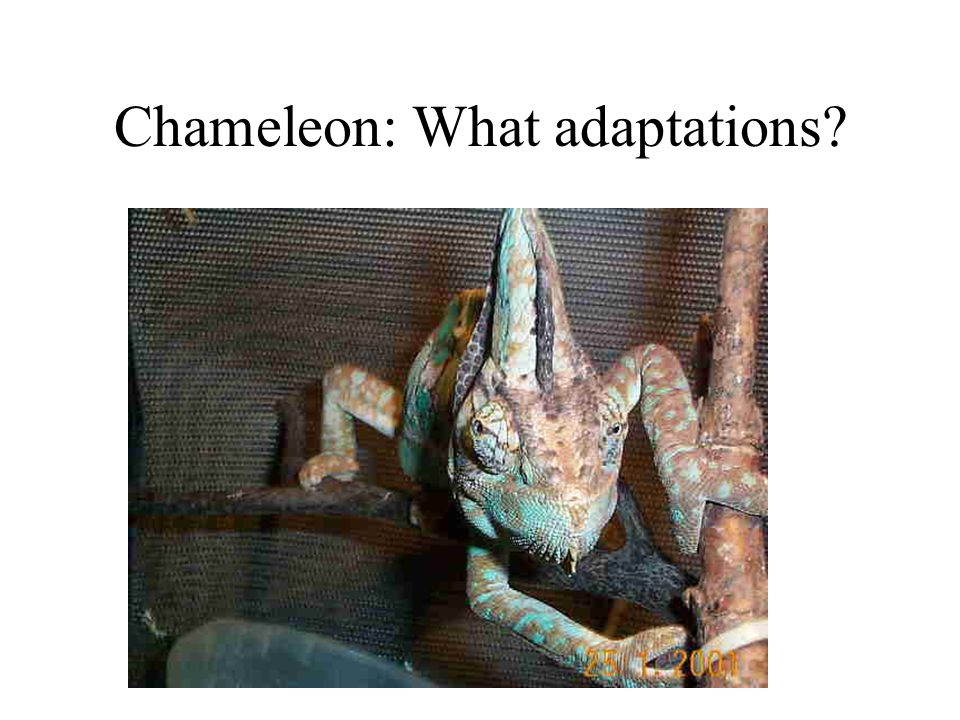 Chameleon: What adaptations