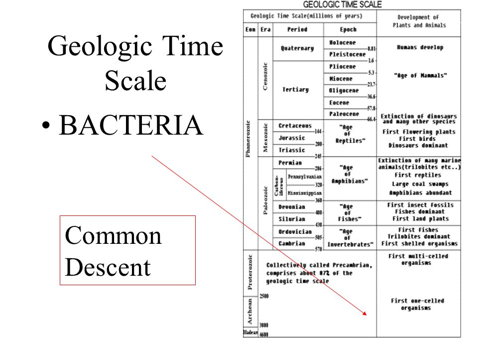 Geologic Time Scale BACTERIA Common Descent