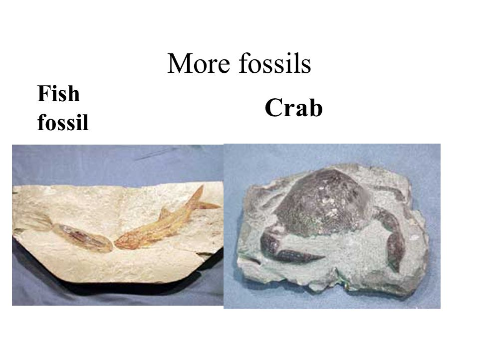 More fossils Fish fossil Crab
