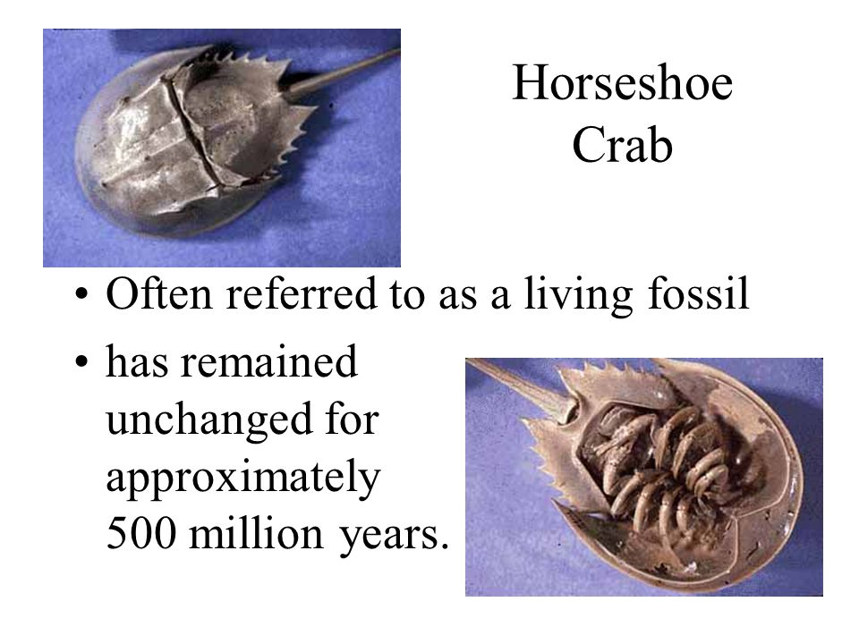 Horseshoe Crab Often referred to as a living fossil