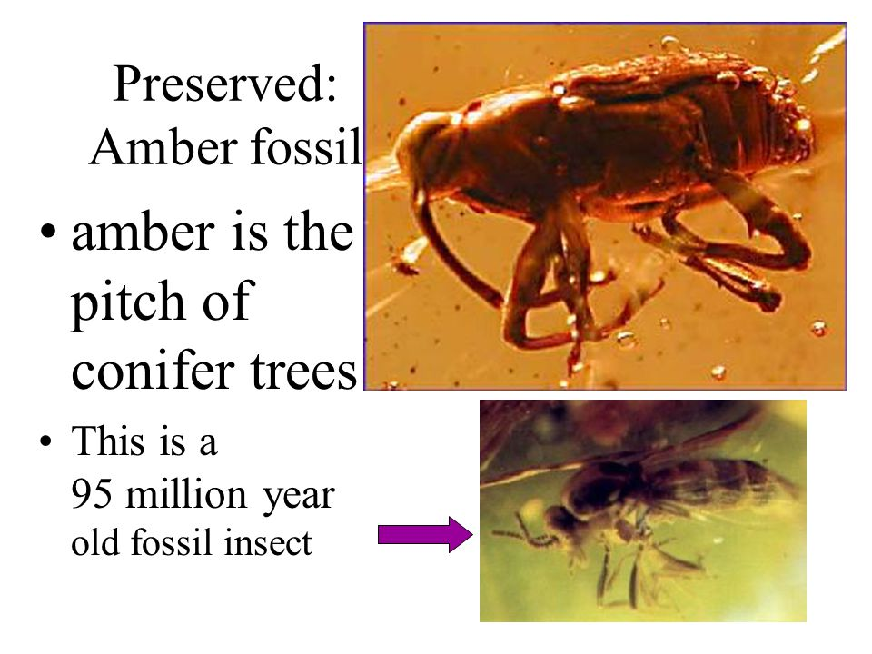 Preserved: Amber fossil