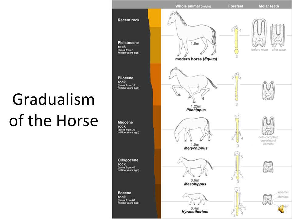 Gradualism of the Horse