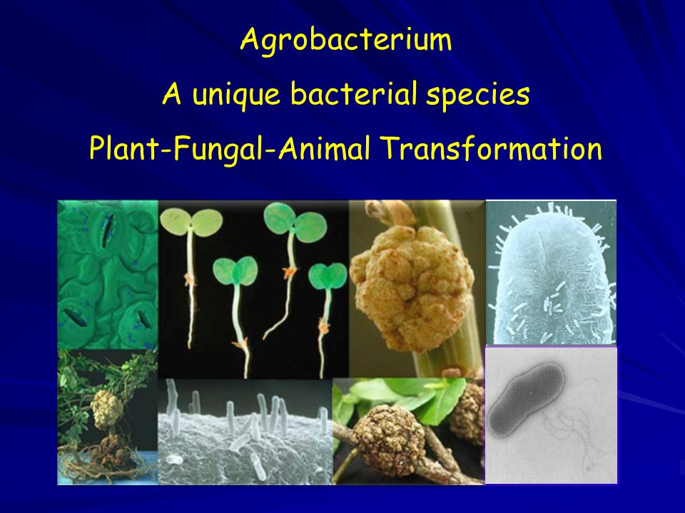 A unique bacterial species Plant-Fungal-Animal Transformation