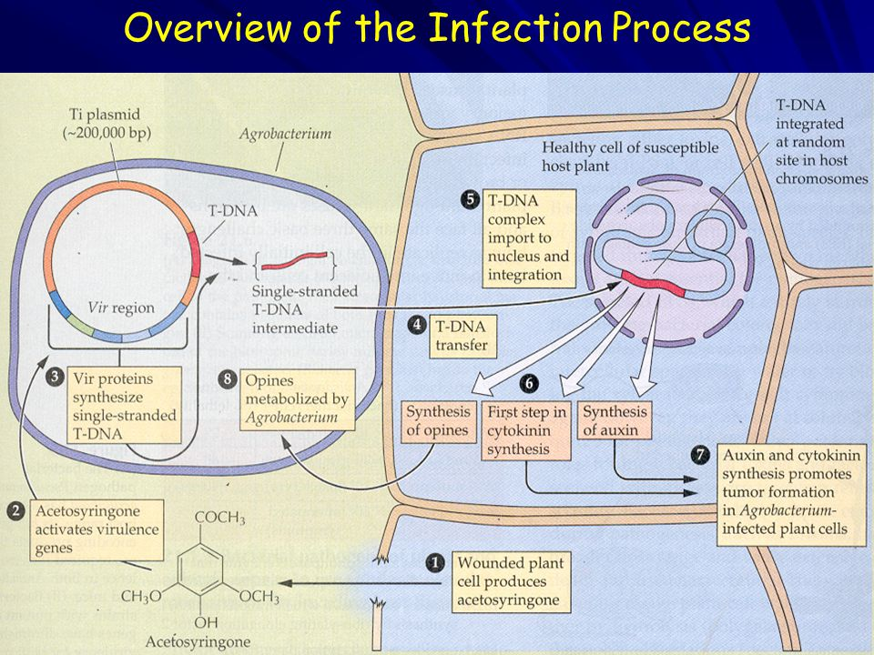 Overview of the Infection Process