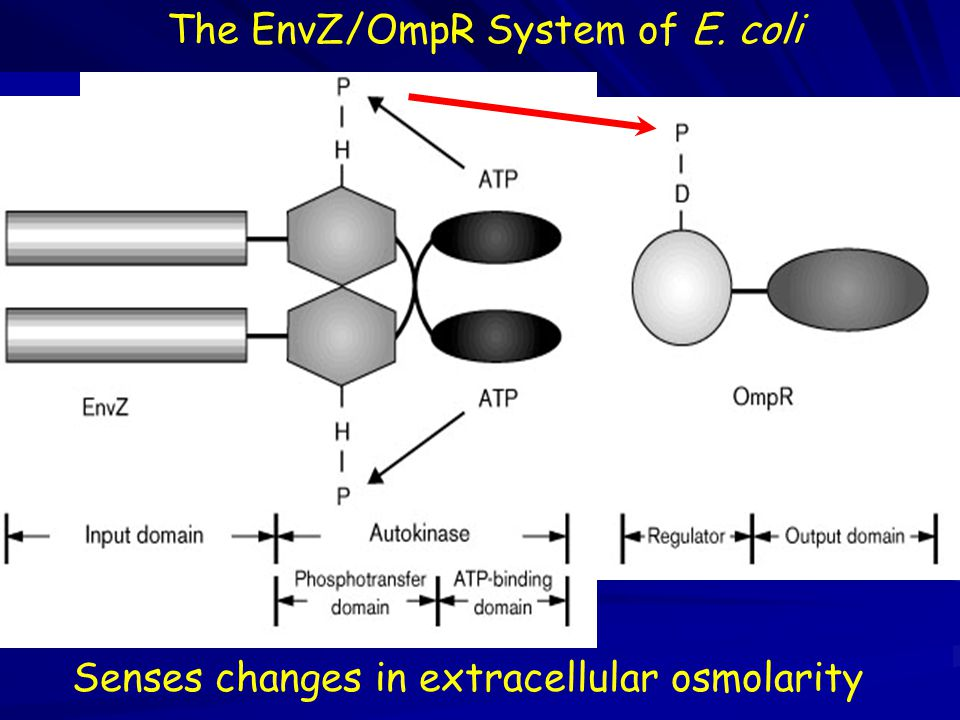 The EnvZ/OmpR System of E. coli