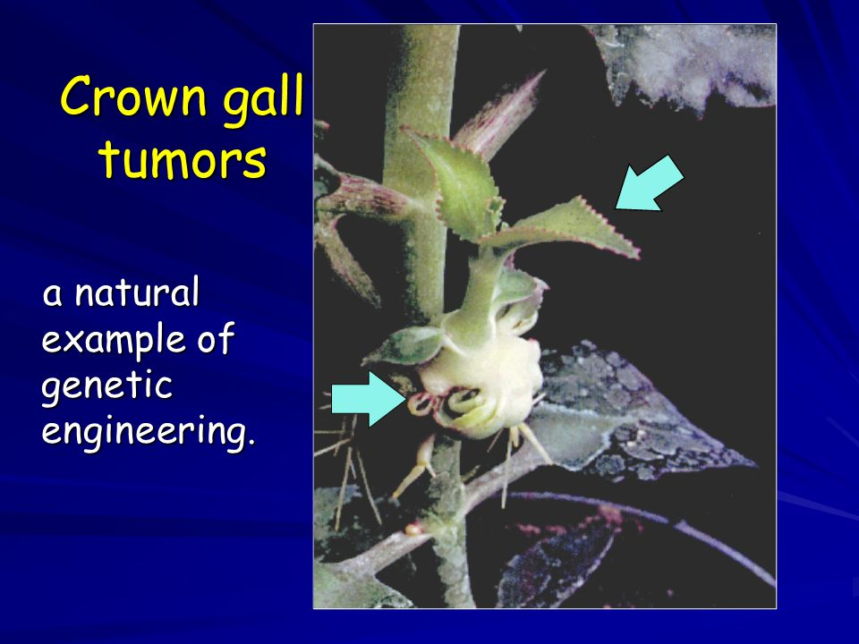 Crown gall tumors a natural example of genetic engineering. 32