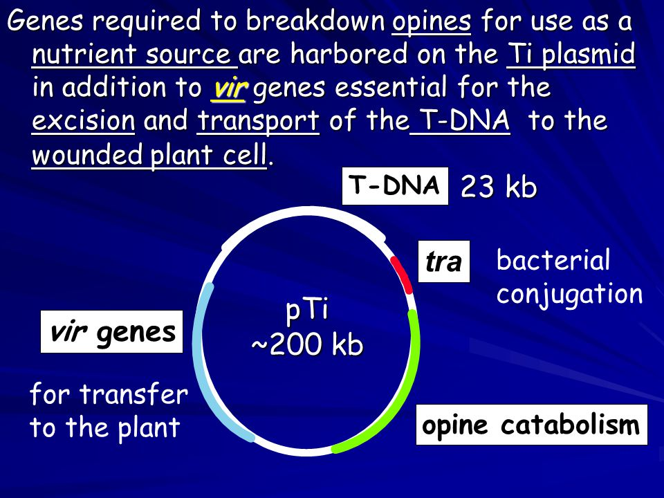 Genes required to breakdown opines for use as a nutrient source are harbored on the Ti plasmid in addition to vir genes essential for the excision and transport of the T-DNA to the wounded plant cell.