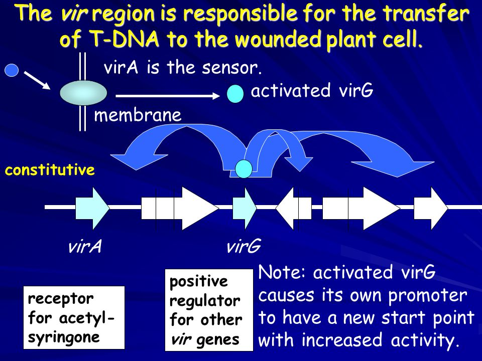 The vir region is responsible for the transfer of T-DNA to the wounded plant cell.