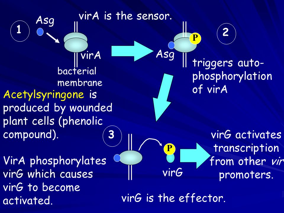 virG activates transcription from other vir promoters.