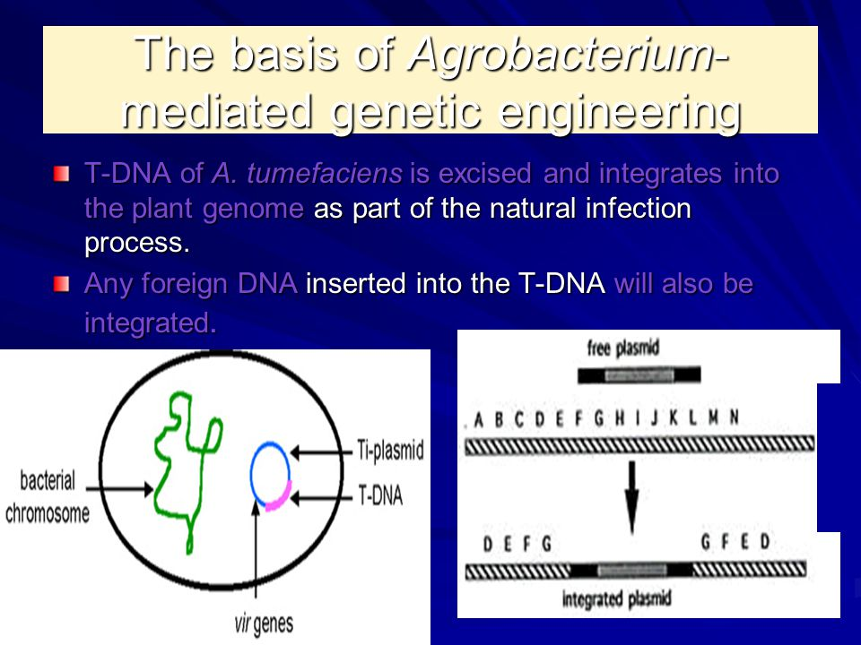 The basis of Agrobacterium-mediated genetic engineering