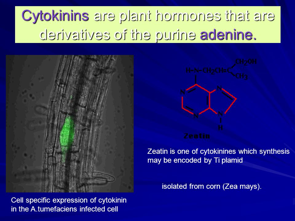 Cytokinins are plant hormones that are derivatives of the purine adenine.