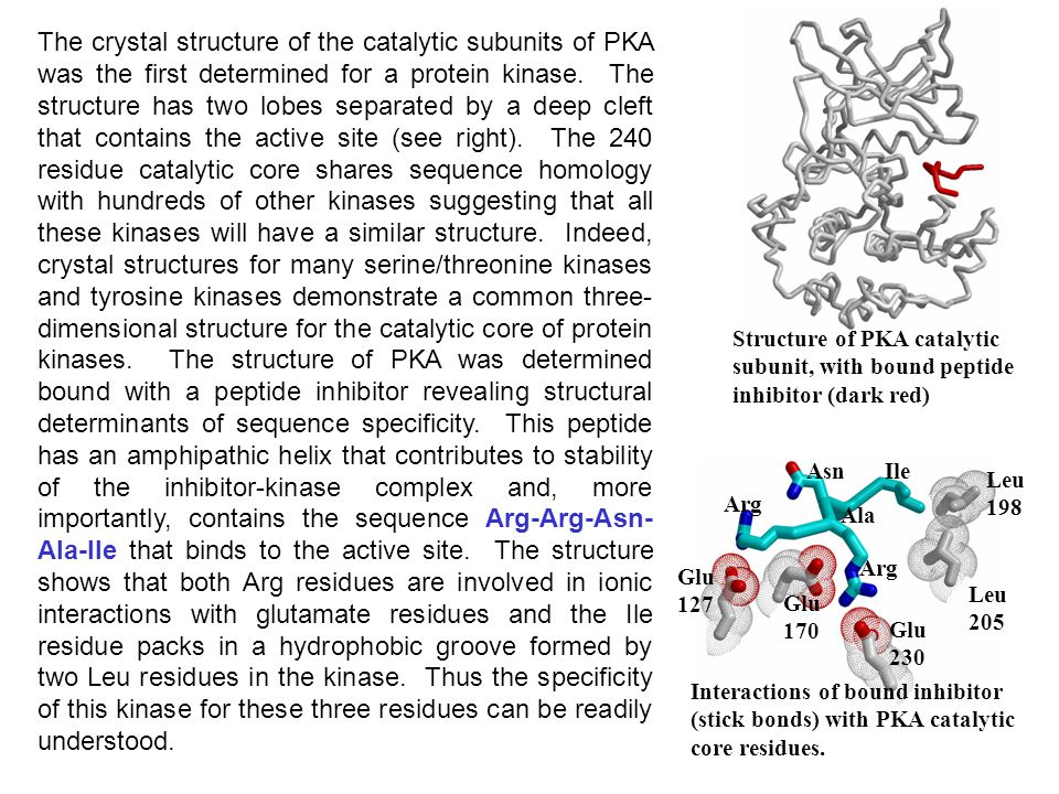 The crystal structure of the catalytic subunits of PKA was the first determined for a protein kinase. The structure has two lobes separated by a deep cleft that contains the active site (see right). The 240 residue catalytic core shares sequence homology with hundreds of other kinases suggesting that all these kinases will have a similar structure. Indeed, crystal structures for many serine/threonine kinases and tyrosine kinases demonstrate a common three-dimensional structure for the catalytic core of protein kinases. The structure of PKA was determined bound with a peptide inhibitor revealing structural determinants of sequence specificity. This peptide has an amphipathic helix that contributes to stability of the inhibitor-kinase complex and, more importantly, contains the sequence Arg-Arg-Asn-Ala-Ile that binds to the active site. The structure shows that both Arg residues are involved in ionic interactions with glutamate residues and the Ile residue packs in a hydrophobic groove formed by two Leu residues in the kinase. Thus the specificity of this kinase for these three residues can be readily understood.