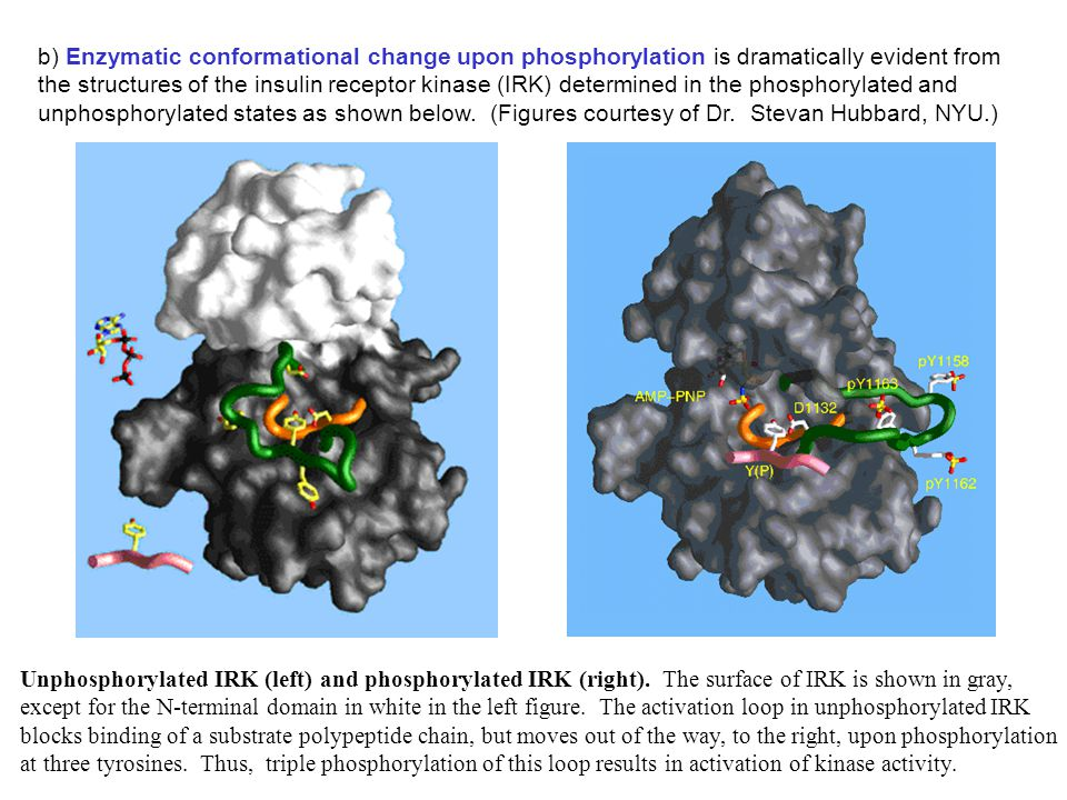 b) Enzymatic conformational change upon phosphorylation is dramatically evident from the structures of the insulin receptor kinase (IRK) determined in the phosphorylated and unphosphorylated states as shown below. (Figures courtesy of Dr. Stevan Hubbard, NYU.)