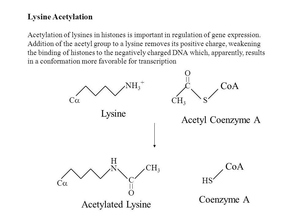CoA Lysine Acetyl Coenzyme A CoA Coenzyme A Acetylated Lysine