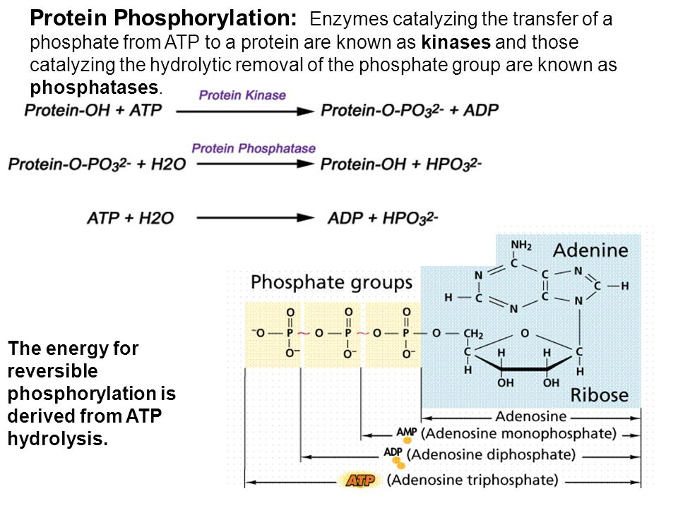Protein Phosphorylation: Enzymes catalyzing the transfer of a phosphate from ATP to a protein are known as kinases and those catalyzing the hydrolytic removal of the phosphate group are known as phosphatases.