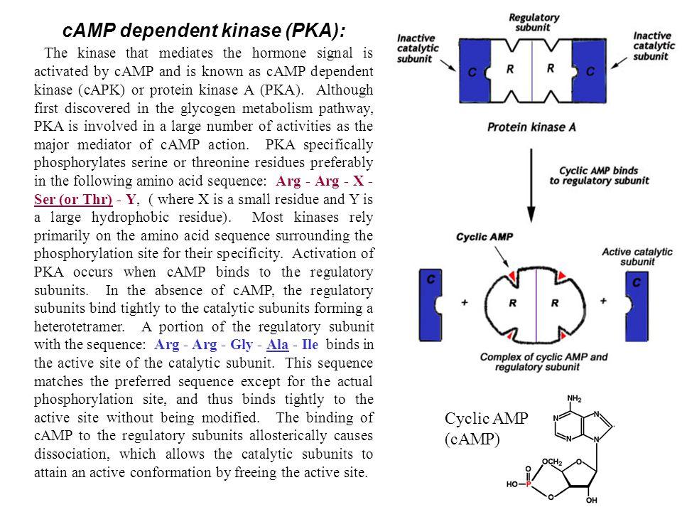 cAMP dependent kinase (PKA):