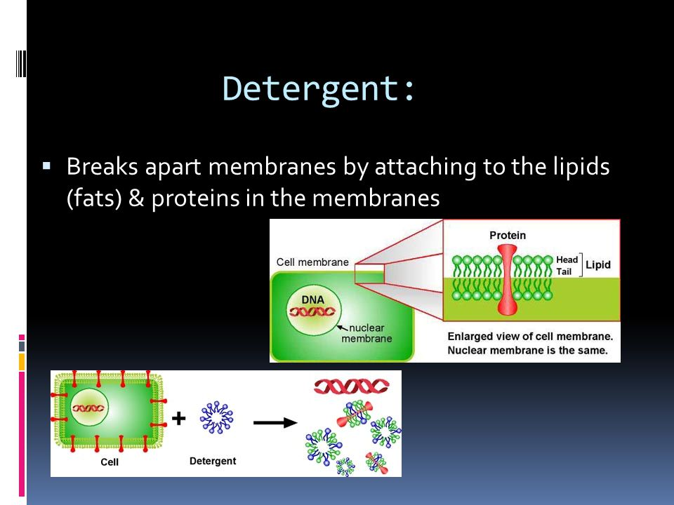 Detergent: Breaks apart membranes by attaching to the lipids (fats) & proteins in the membranes