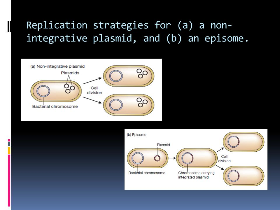Replication strategies for (a) a non-integrative plasmid, and (b) an episome.