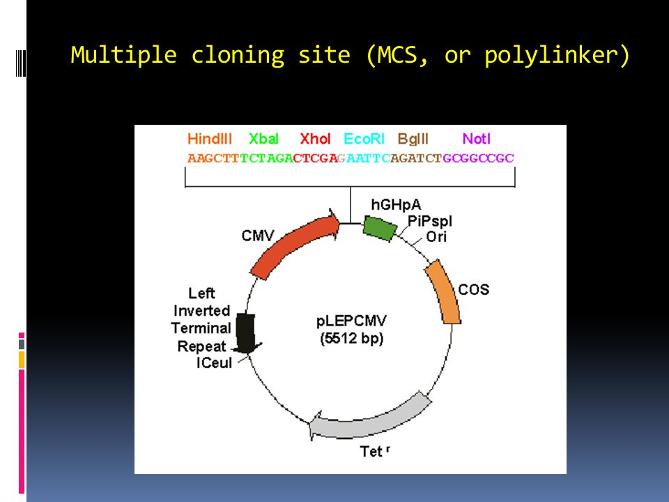 Multiple cloning site (MCS, or polylinker)