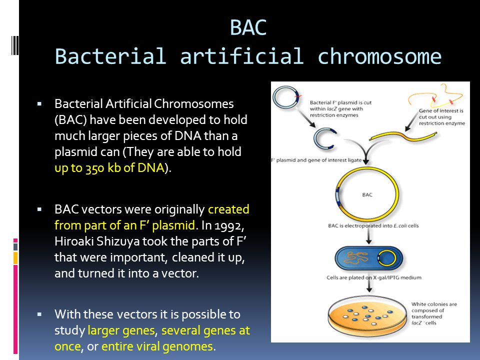 BAC Bacterial artificial chromosome
