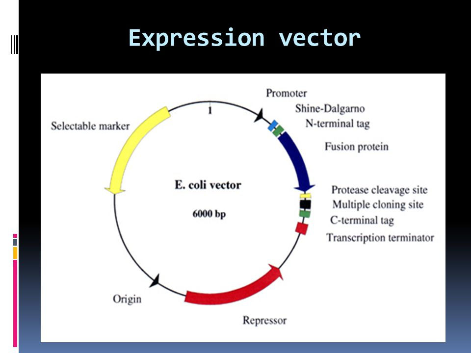 Expression vector
