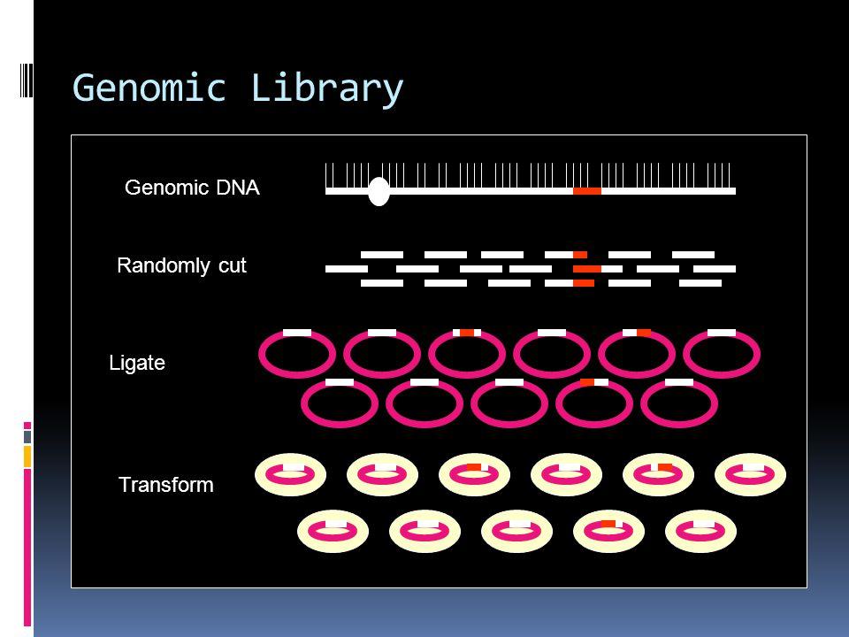 Genomic Library Genomic DNA Randomly cut Ligate Transform
