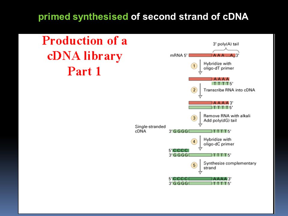 primed synthesised of second strand of cDNA