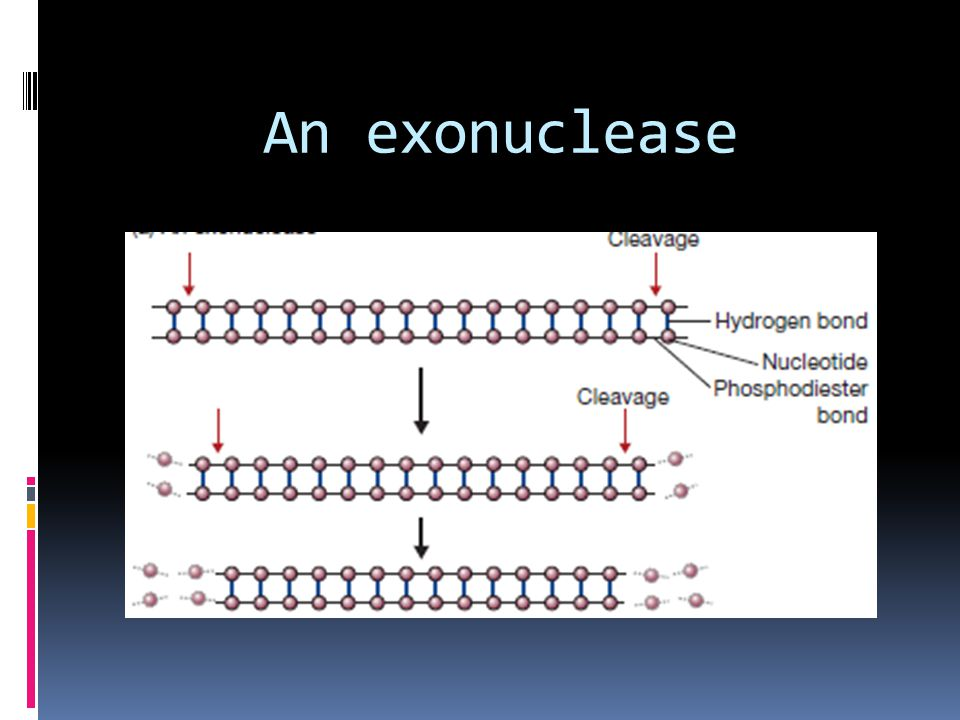 An exonuclease