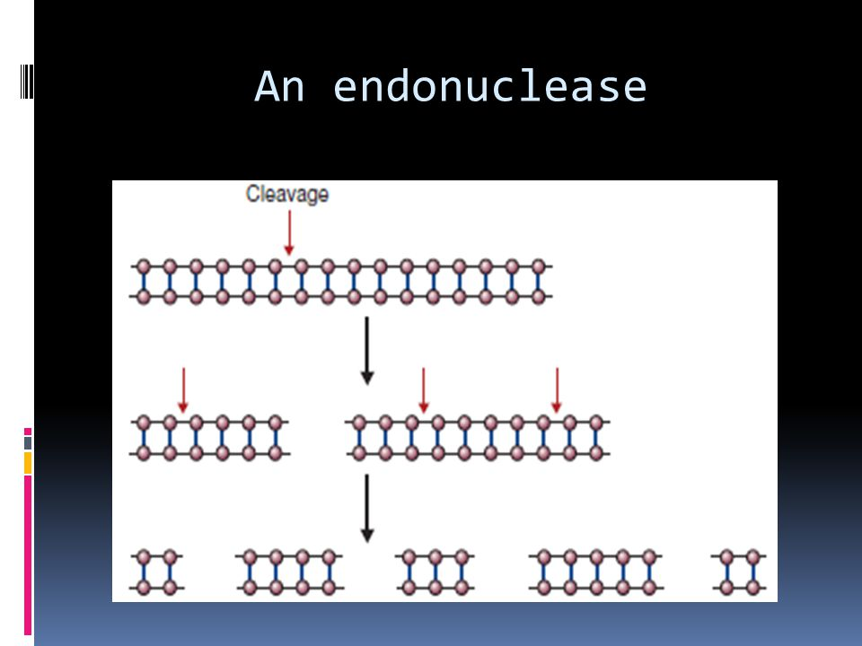 An endonuclease
