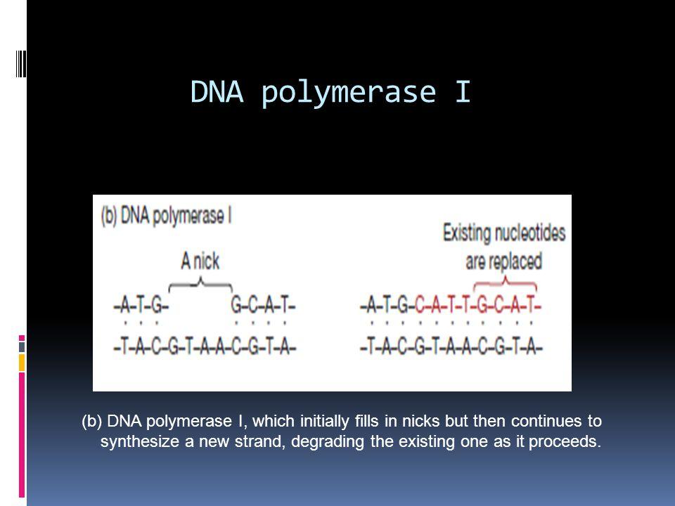 DNA polymerase I