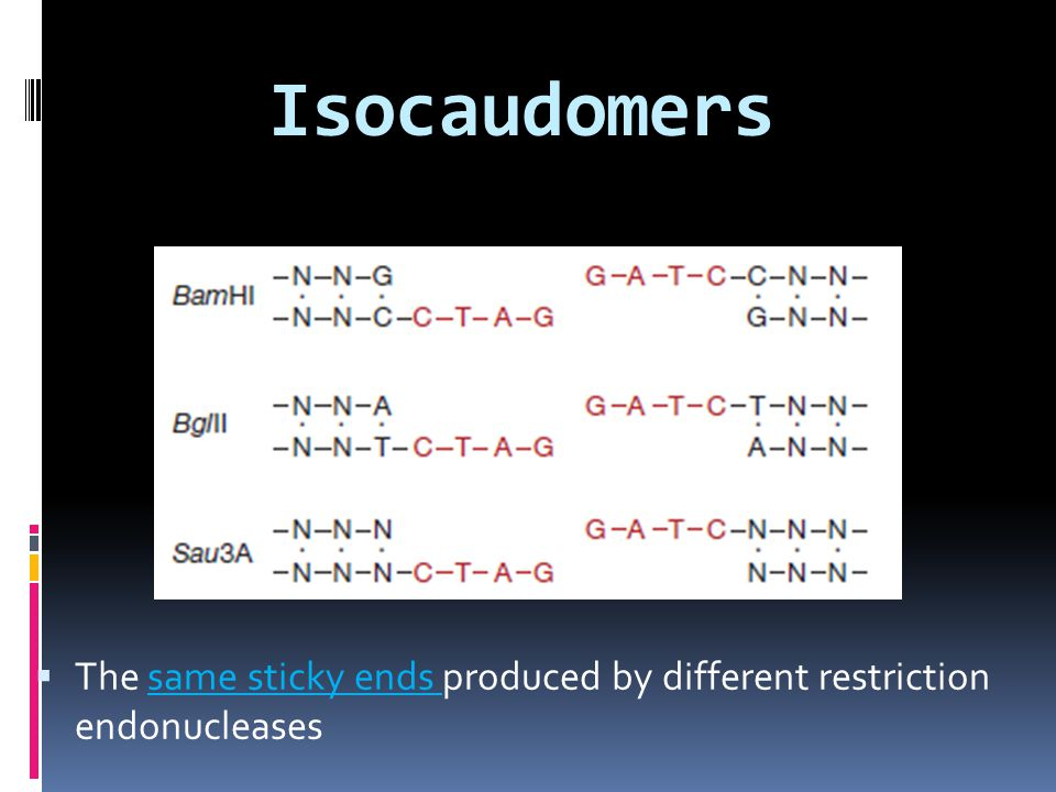 Isocaudomers The same sticky ends produced by different restriction endonucleases