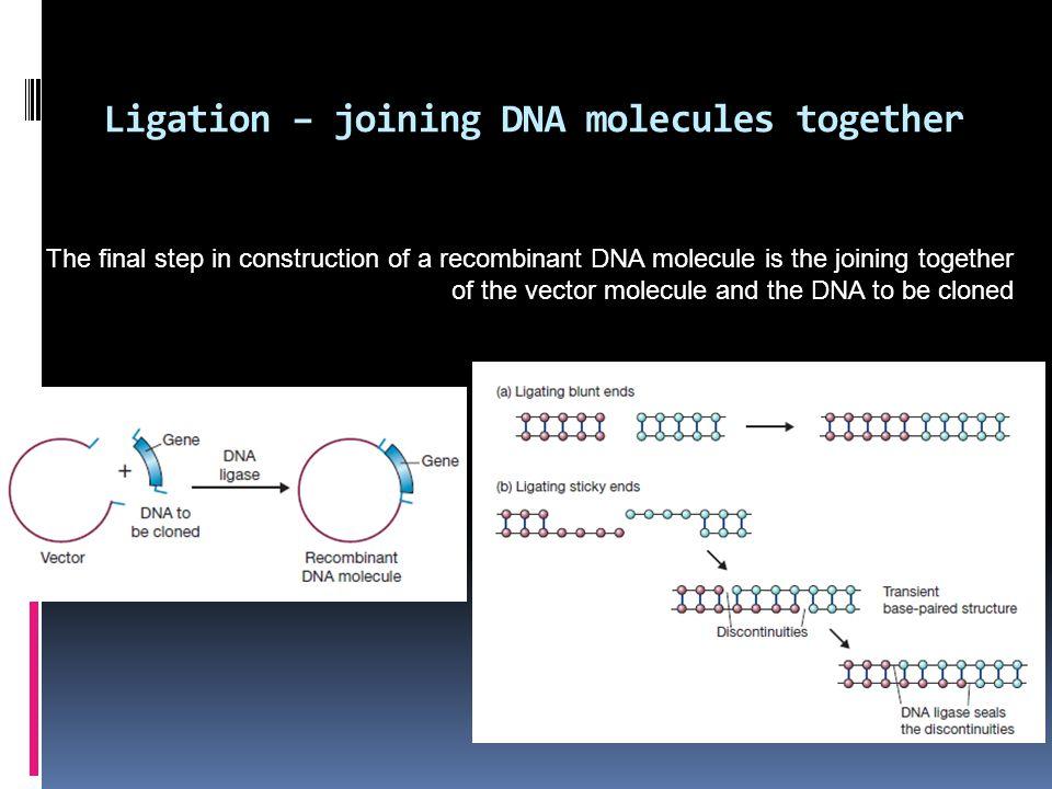 Ligation – joining DNA molecules together