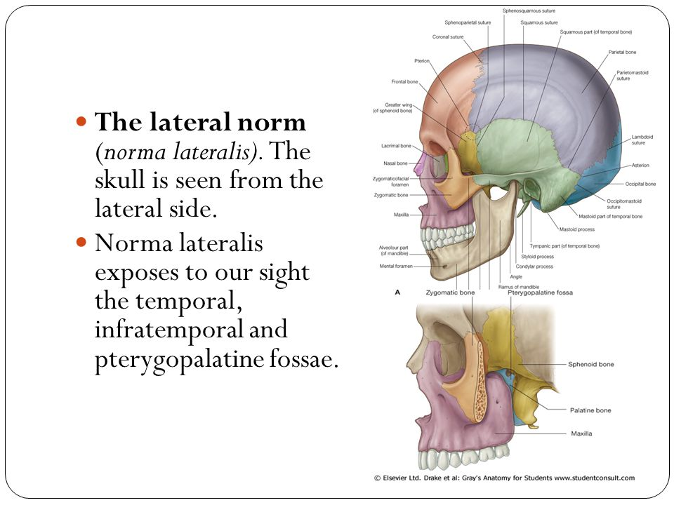 The lateral norm (norma lateralis)