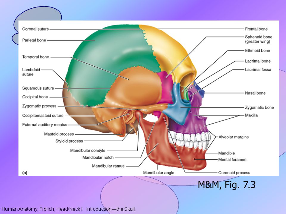 Human Anatomy, Frolich, Head/Neck I: Introduction—the Skull