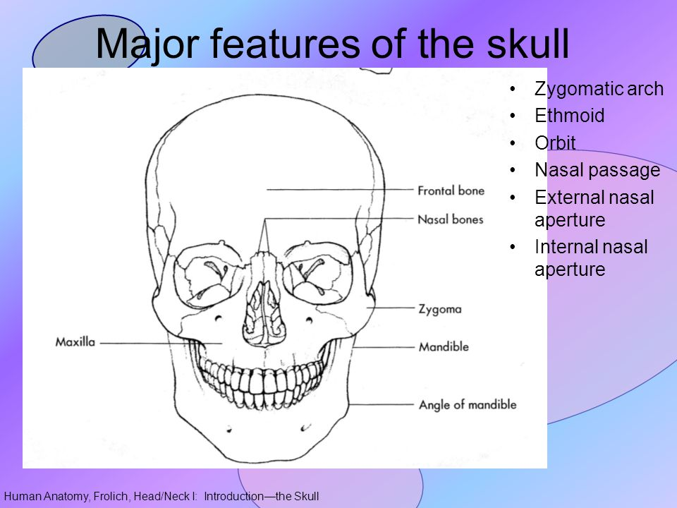 Major features of the skull