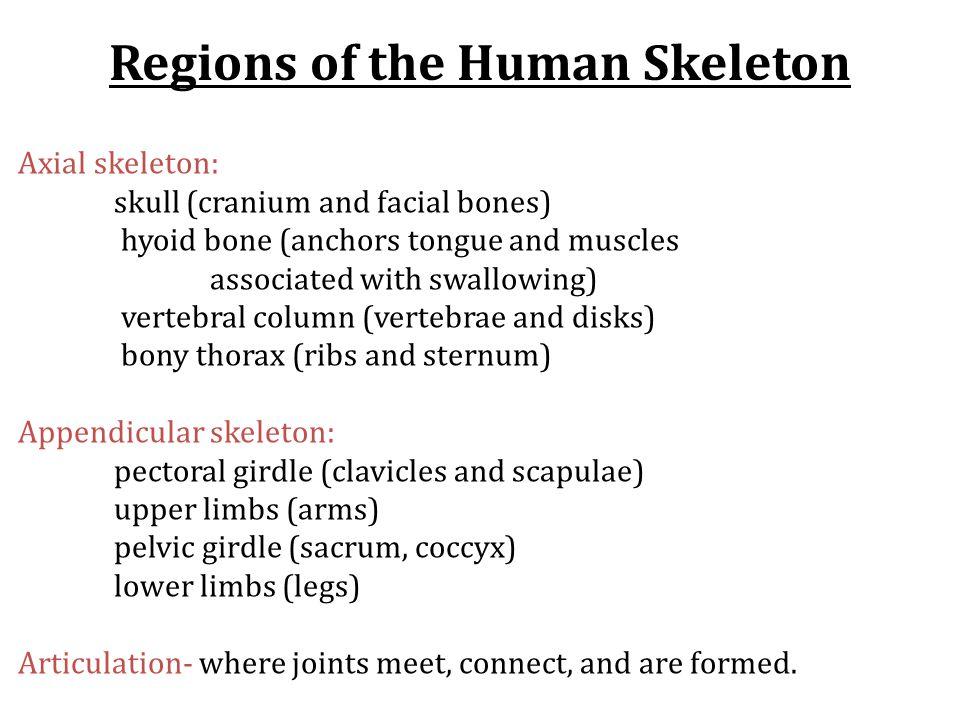Regions of the Human Skeleton
